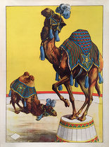 Circus Camels