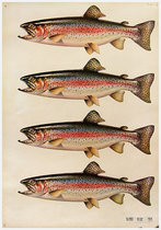 American Die Cut- Trout