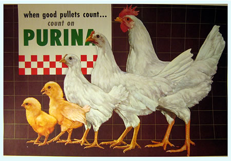 Purina for Pullets